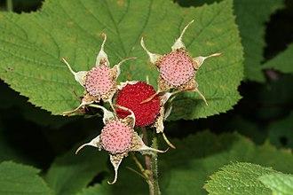 Rubus parviflorus - Image: Rubus parviflorus 9481