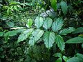 Rubus pyrifolius 梨葉懸鉤子 (天問).jpg