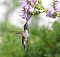 Ruby-throated hummingbird feeding from an obedient plant (43227521674).jpg