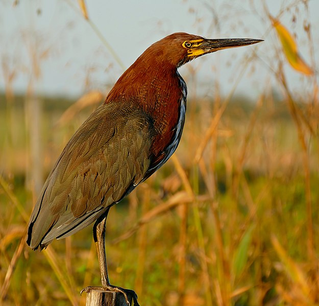 Fichier:Rufescent Tiger Heron (Tigrisoma lineatum) in sunset light ... (28763147192).jpg