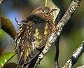 Rufous-throated Bronze Cuckoo (cropped).jpg