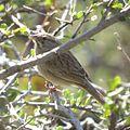 Rufous-winged Sparrow (18497013705).jpg