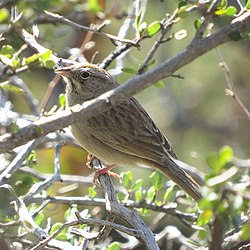 Rufous-winged Sparrow (18497013705).jpg