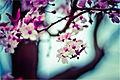 Rula-sibai-pink-flowers.jpg