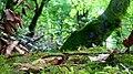 Rumanian Forest, Carpatos Mountains 39.jpg