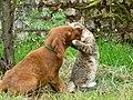 Rusty Puppy Cat Play Fight Ooty Nov09 P1010552.jpg