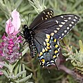 SWALLOWTAIL, BLACK (Papilio polyxenes) (3-28-2015) 78 circulo montana, patagonia lake ranch estates, scc, az (16989784006).jpg