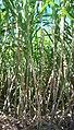 Saccharum officinarum yellow canes.JPG