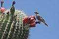 Saguaro cactus fruits with bird.jpg