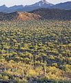 Saguaro forest 2, Ironwood NM.JPG