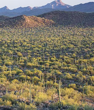 Parkinsonia microphylla - Image: Saguaro forest 2, Ironwood NM