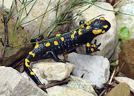 Salamanders Wikipedia