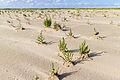 Salicornia (Scharhörn) 1.jpg
