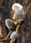Salix caprea20110423 109.jpg