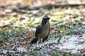 Saltator coerulescens -Mato Grosso do Sul, Brazil-8.jpg