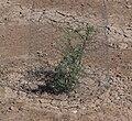 Salton Sea - protected planting.JPG