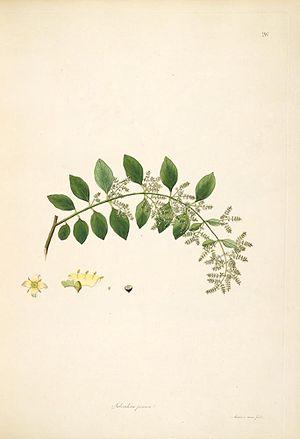 Salvadora persica - Image: Salvadora persica