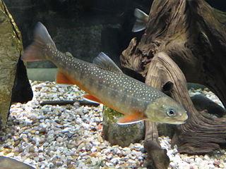 Sommen charr Subspecies of fish