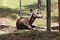 Sambar deer, Bhutan 02.jpg