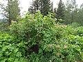 Sambucus racemosa (8088056286).jpg