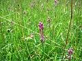 Samerberger Streuwiese Allium 13454DSCI2374 01.jpg