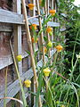 Sandersonia aurantiaca (18994430123).jpg