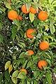 Sapindales - Citrus sinensis - 7.jpg
