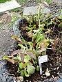 Sarracenia purpurea - Botanischer Garten Freiburg - DSC06351.jpg