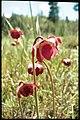 Sarracenia purpurea 2-eheep (5097346447).jpg