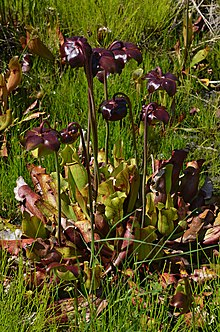 Sarracenia purpurea Flowers.JPG
