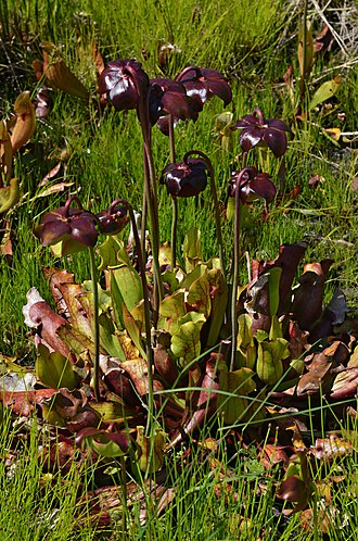 Sarracenia purpurea - Flowering Sarracenia purpurea, Coastal Maine Botanical Gardens