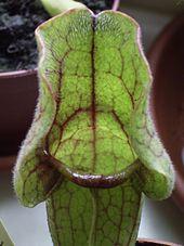 Fleischfressende Pflanzen Wikipedia