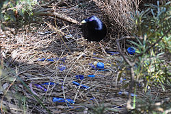 Satin Bowerbird nest.jpg
