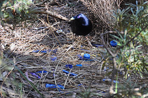 Satin bowerbird - A male building the bower