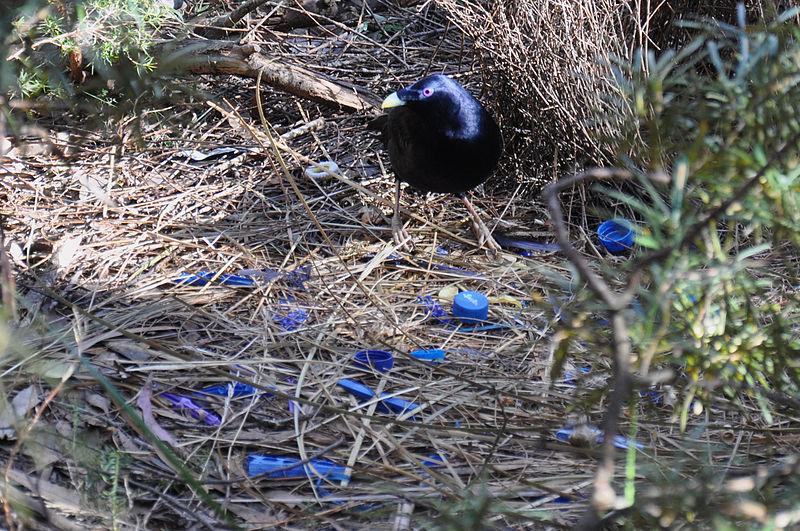 File:Satin Bowerbird nest.jpg