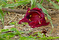 Sausage Tree (Kigelia africana) flower (11732784975).jpg
