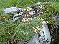 Saxifraga paniculata 1.jpg