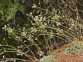 Saxifragaceae - Saxifraga paniculata (8303622131).jpg