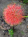 Scadoxus multiflorus-Blood Lily, Football Lily, Powderpuff Lily .jpg