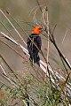 Scarlet-headed Blackbird (Amblyramphus holosericeus) (8077673528).jpg