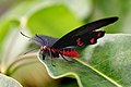 Scarlet Sallow Papilio Rumanzovia . (8622021683).jpg
