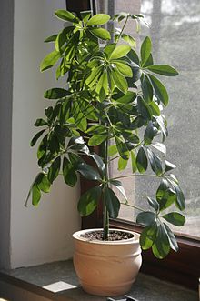 Plante d 39 int rieur wikip dia for Plantes d interieures
