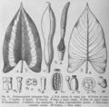 Schismatoglottis bifaciata from Das Pflanzenreich.png