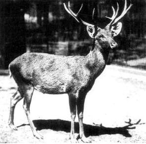 Schomburgk-Hirsch im Zoo Berlin, Foto von 1911.