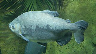 Tambaqui Genus of fishes