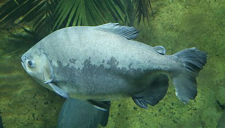 The tambaqui, an important species in Amazonian fisheries, breeds in the Amazon River Schwarzer Pacu Colossoma macropomum Tierpark Hellabrunn-1.jpg