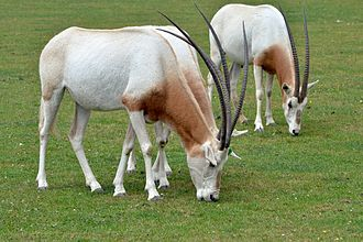 Scimitar oryx - A group of scimitar oryx at Marwell Zoo in Hampshire, Great Britain