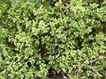 Scleranthus annuus bords-moselle-tonnoy 54 11052002 2.JPG