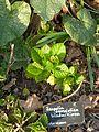 Scopolia carniolica hladnikiana - Flickr - peganum.jpg
