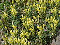 Scutellaria orientalis subsp pinnatifida1.JPG